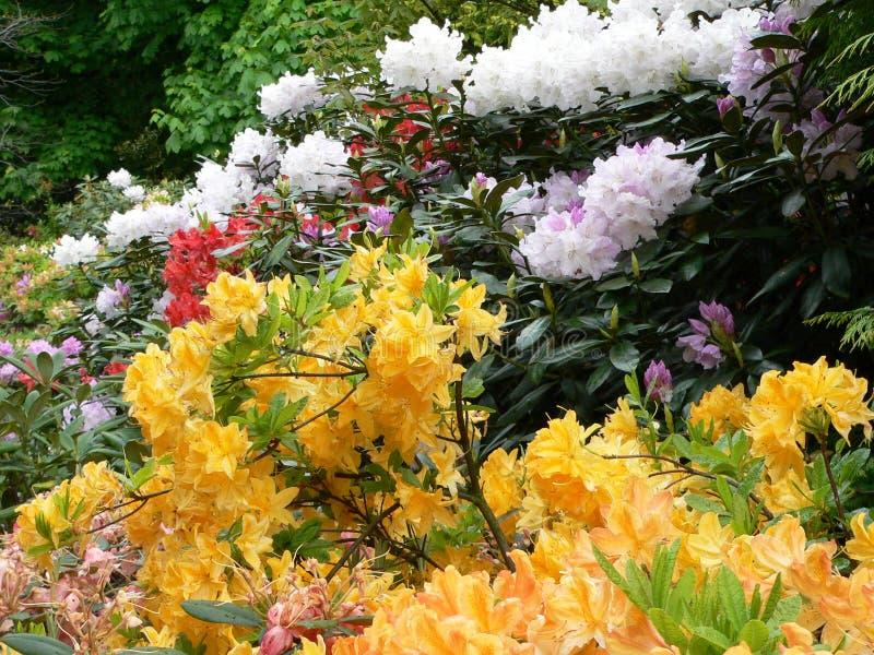 rhododendron för 3 edinburgh arkivfoto
