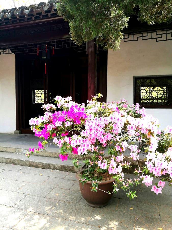 Rhododendron fleurissant au printemps, maison chinoise image libre de droits