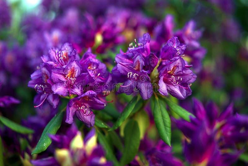 Rhododendron fleurissant pourpre dans le jardin images libres de droits