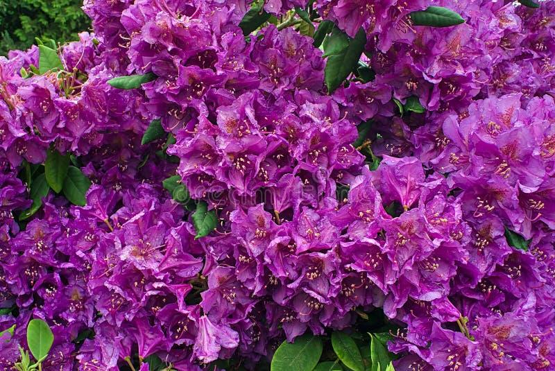 Rhododendron fleurissant pourpre dans le jardin image stock