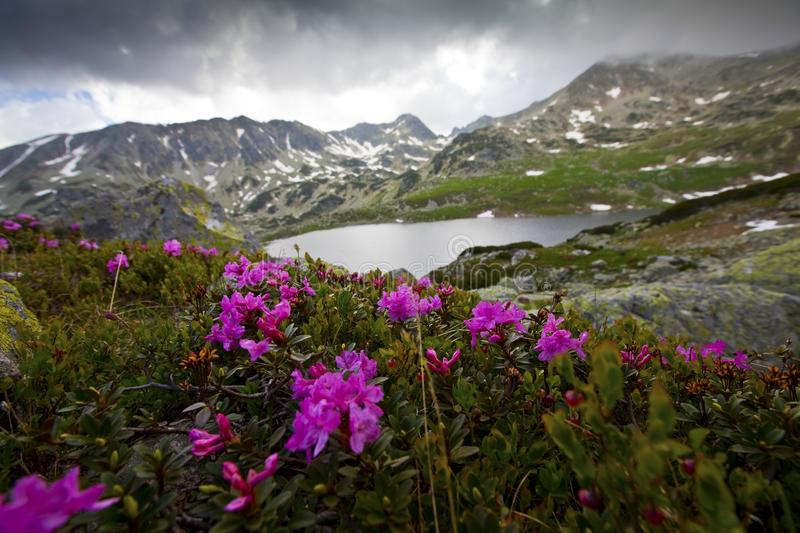 Download Rhododendron Flowers In High Mountains Stock Photo - Image of breathtaking, elevation: 23252264