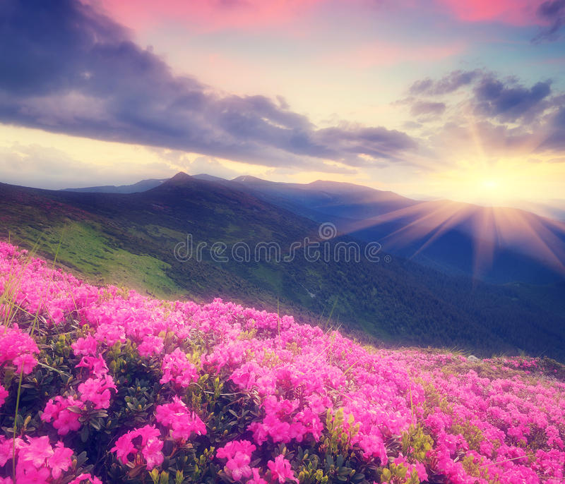 Rhododendron flowers in the mountains stock photo