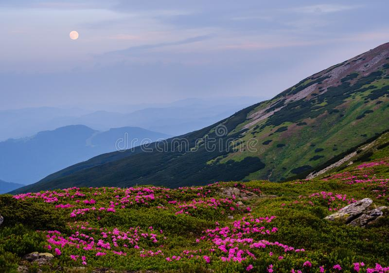 Rhododendron flowers on summer early morning mountains and full Moon royalty free stock photo