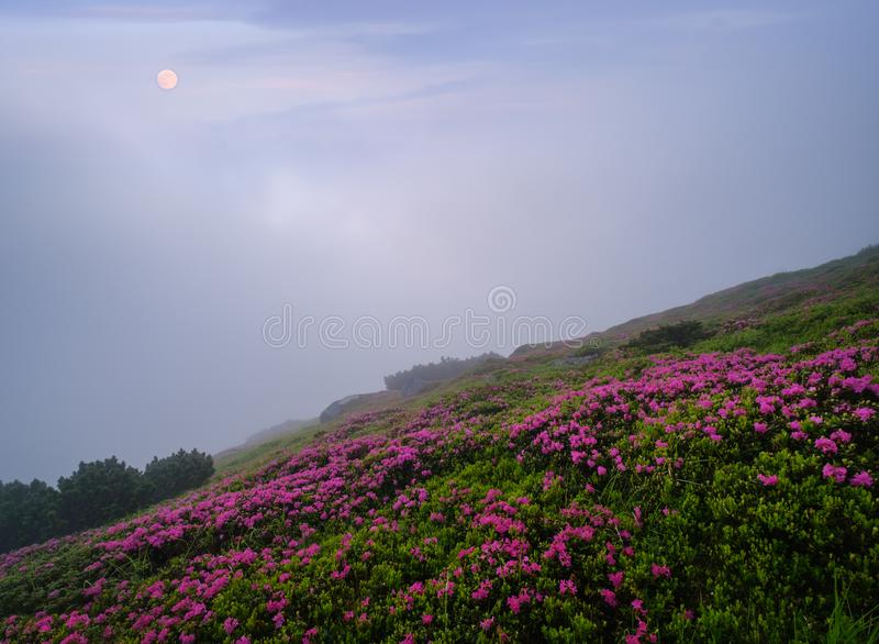 Rhododendron flowers on summer early morning mountains and full Moon royalty free stock photography
