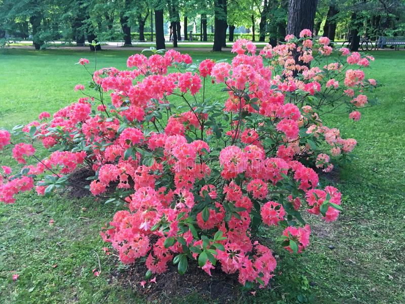 Rhododendron genus of plants of the family Heather. Pale pink, coral color, Bush all strewn with flowers, in the Park, green grass on the lawn royalty free stock photos
