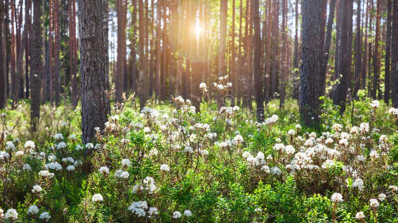 Rhododendron groenlandicum or Ledum palustre in spring forest royalty free stock photos