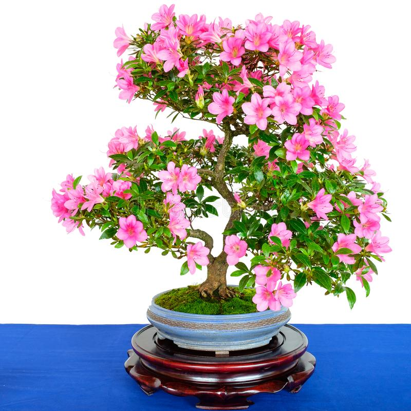 Rhododendron indicum bonsai tree with pink flowers stock image download rhododendron indicum bonsai tree with pink flowers stock image image of asian growth mightylinksfo