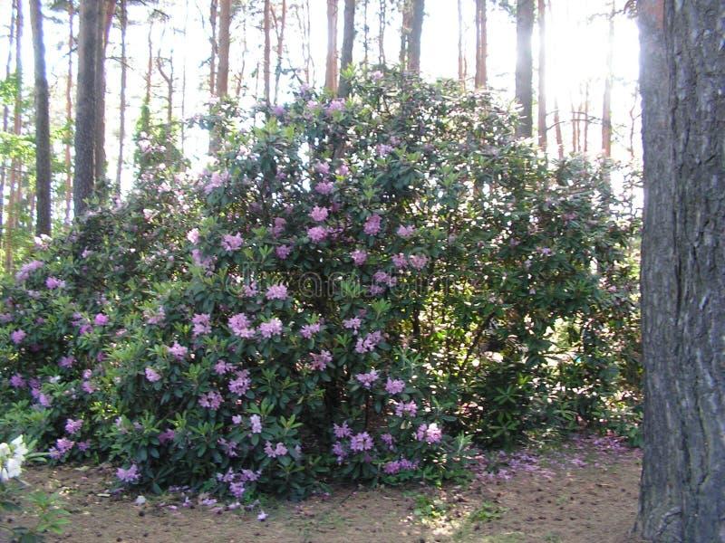 rhododendron Landskapomr?de i str?larna av inst?llningssolen arkivfoto