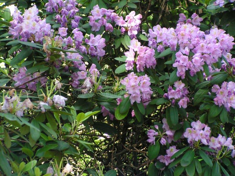 rhododendron Landskapomr?de i str?larna av inst?llningssolen royaltyfri fotografi