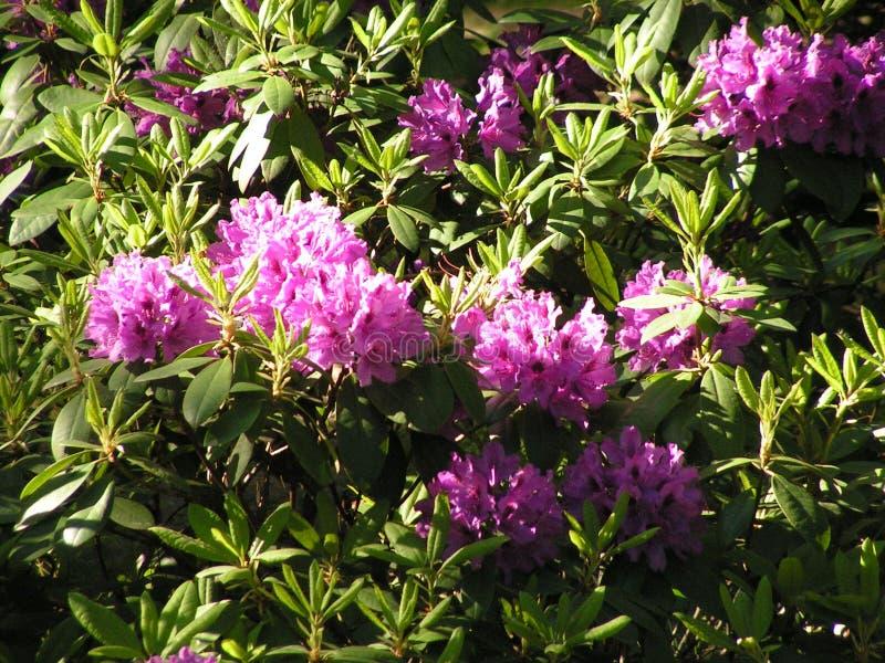 rhododendron Landskapomr?de i str?larna av inst?llningssolen royaltyfria bilder
