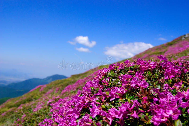 Rhododendron in Leaota stock photo