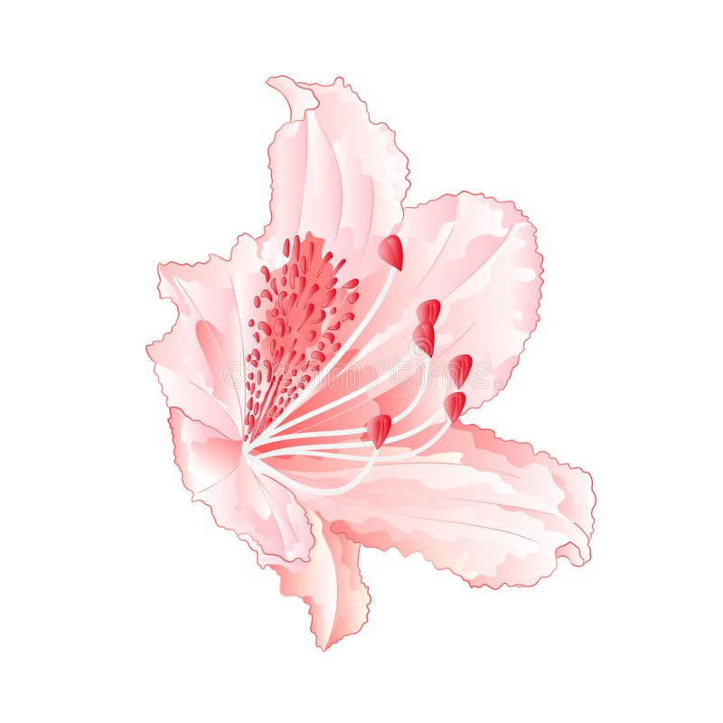 Rhododendron light pink flower mountain shrub vintage vector download rhododendron light pink flower mountain shrub vintage vector illustration editable stock vector illustration of mightylinksfo