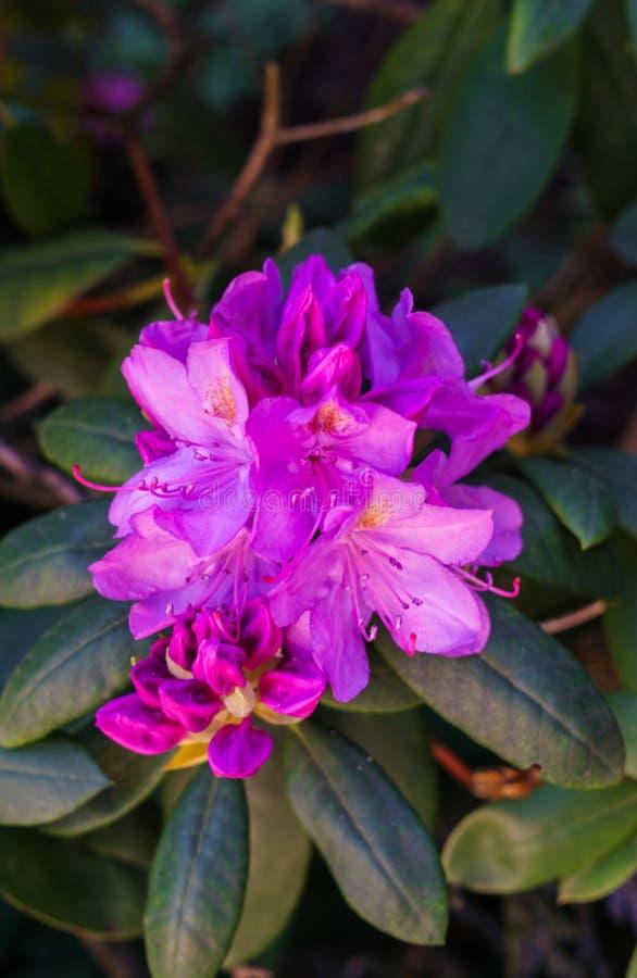 Rhododendron lilac bud floreale in un parco cittadino immagine stock