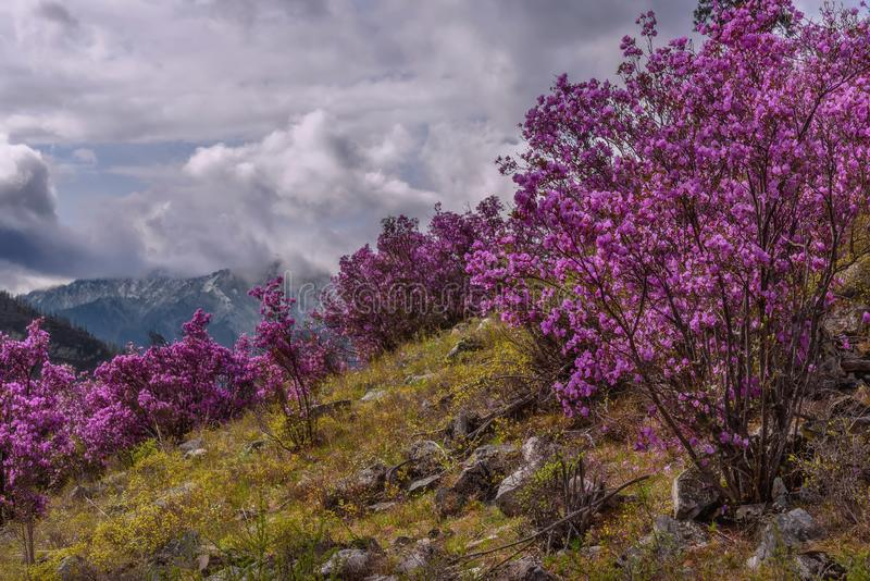 Rhododendron mountain spring overcast stock photography