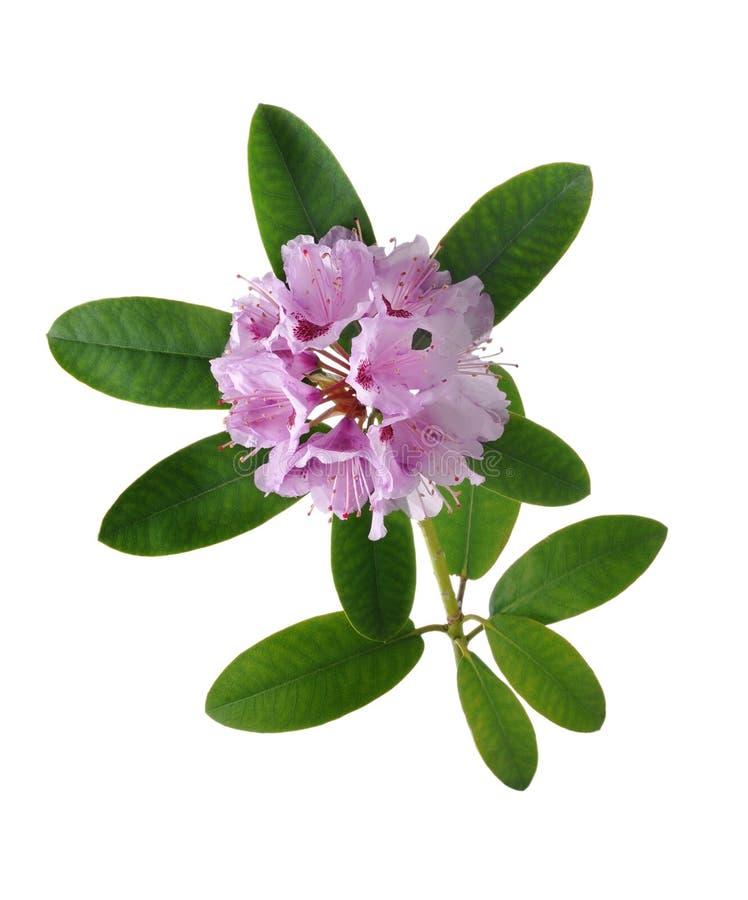 Rhododendron ou azáleas cor-de-rosa foto de stock royalty free