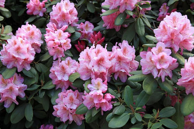 Rhododendron Plants in bloom in a public Park in Hamburg. Germany stock photos