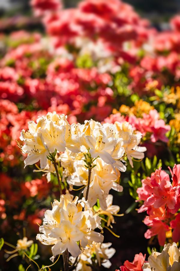 Rhododendron plants in bloom stock photo