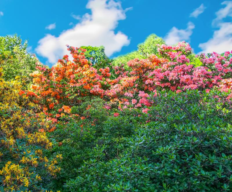 Rhododendron plants in bloom in spring park. Beautiful Rhododendron plants in bloom in spring park royalty free stock image