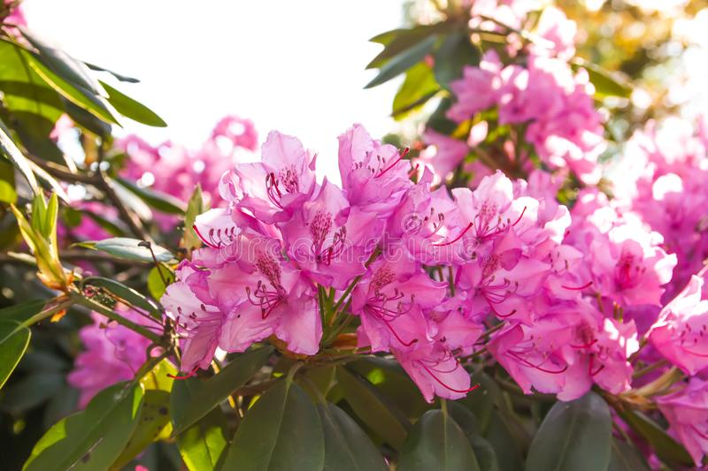 Rhododendron plants in bloom in spring park. Beautiful Rhododendron plants in bloom in spring park stock images