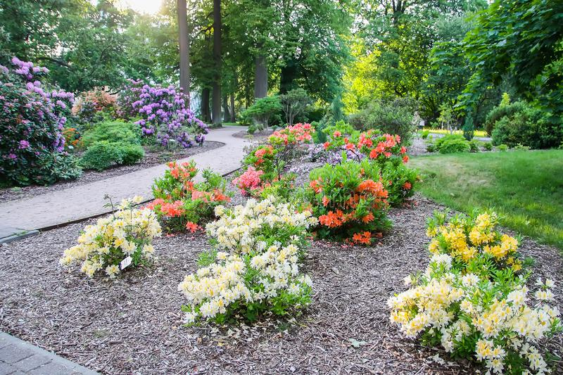 Rhododendron plants in bloom in spring park. Beautiful Rhododendron plants in bloom in spring park stock photos