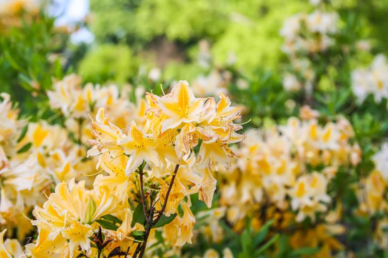 Rhododendron plants in bloom in spring park. Beautiful Rhododendron plants in bloom in spring park stock image