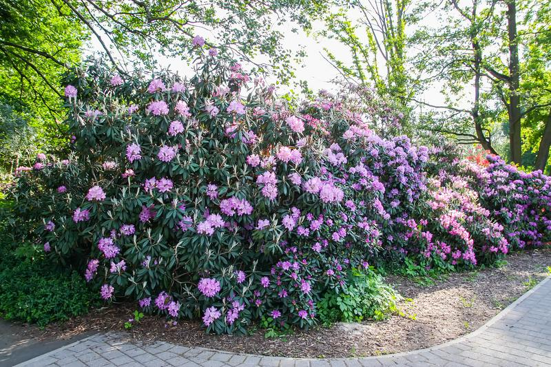 Rhododendron plants blooming in spring park. Rhododendron plant fragrant beautiful flowers blooming in spring park stock images