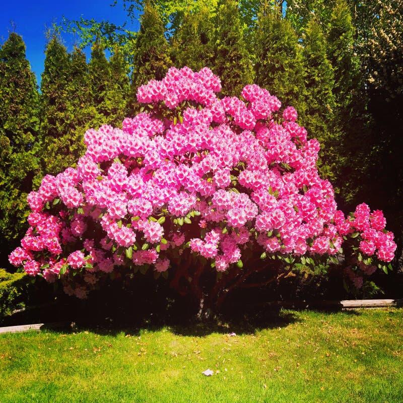 rhododendron stockbilder