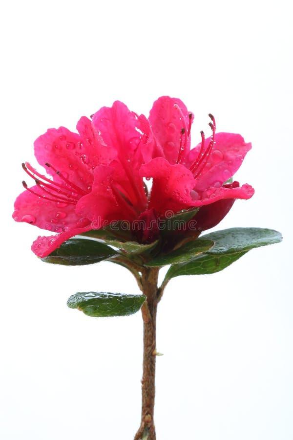 Rhododendron rose avec des baisses de rosée images libres de droits