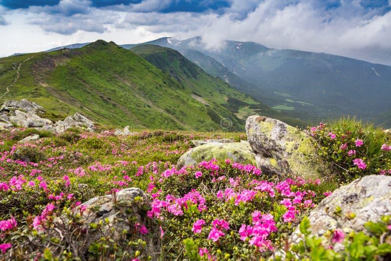 Rhododendron rose de floraison dans les montagnes, vallée fleurissante image stock