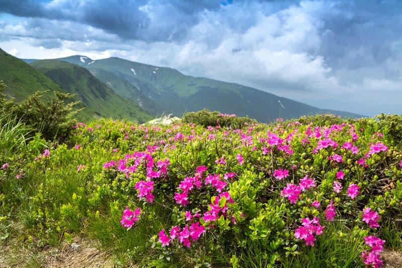 Rhododendron rose de floraison dans les montagnes, vallée fleurissante photos libres de droits