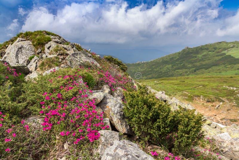 Rhododendron rose de floraison dans les montagnes, vallée fleurissante photo stock