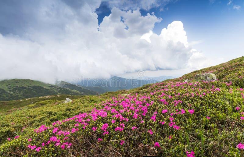 Rhododendron rose de floraison dans les montagnes, vallée fleurissante photographie stock libre de droits