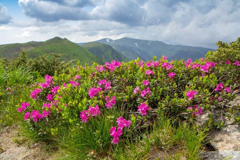 Rhododendron rose de floraison dans les montagnes, vallée fleurissante sur l'arête dans carpathien photos stock