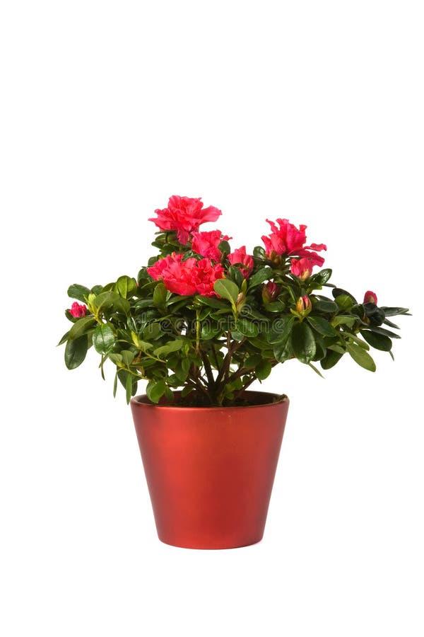 Rhododendron Simsii Gruppe stockfotografie