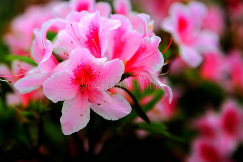 Rhododendron simsii Planch fotografia stock libera da diritti