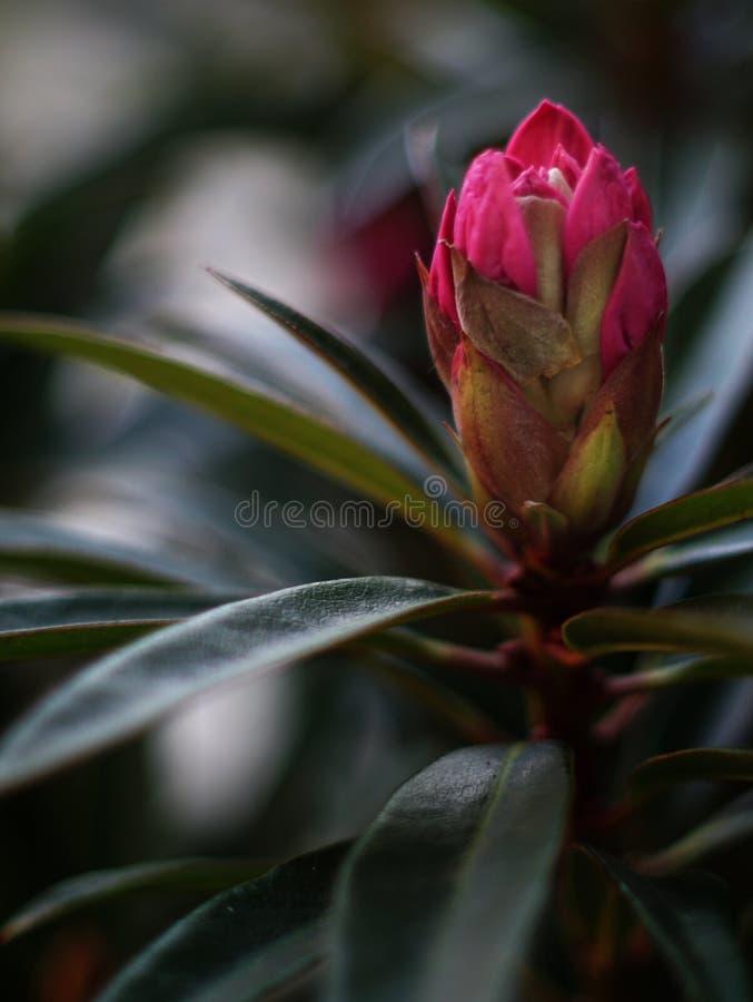 Rhododendron som är klar att öppna knoppen arkivfoto