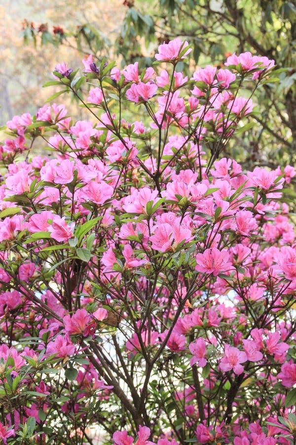 Rhododendron som blommar med rosa blommor i Nepal fotografering för bildbyråer