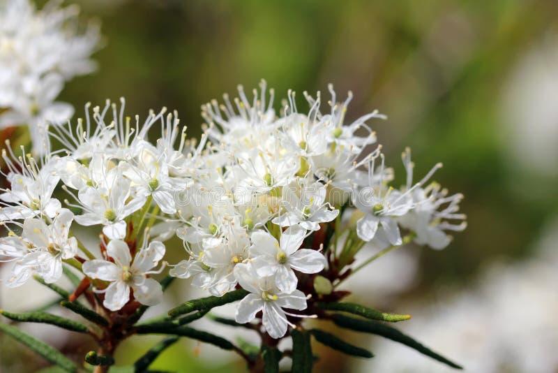 Rhododendron tomentosum (Marsh Labrador Tea) stock photos