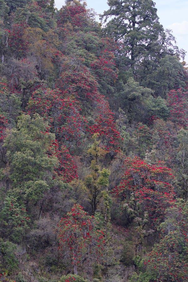 Rhododendron träig växter i hedfamiljen, Ericaceae, endera som är vintergrön eller som är lövfällande Mukteshwar Uttarakhand, Ind arkivfoton