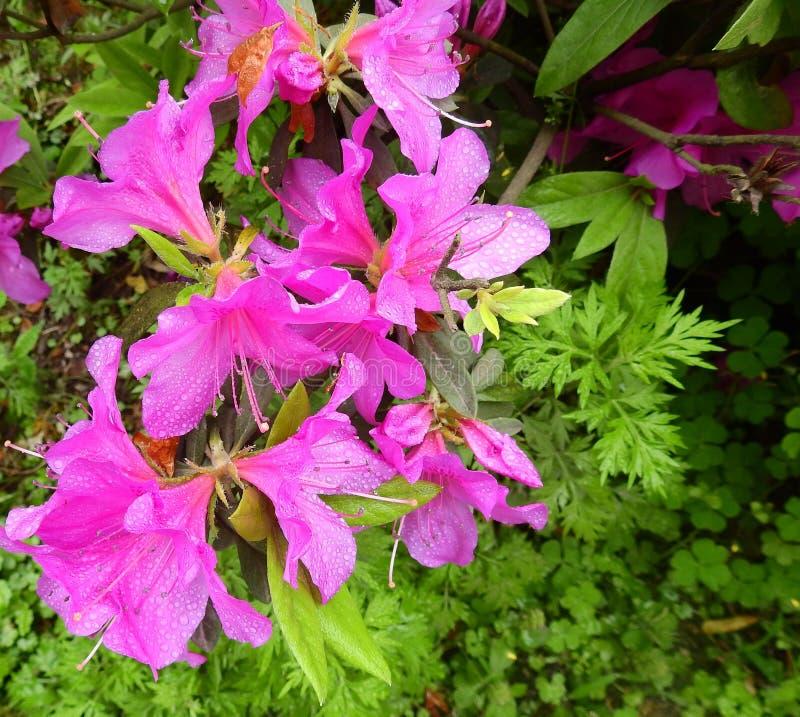 Rhododendron und Tau stockfotografie