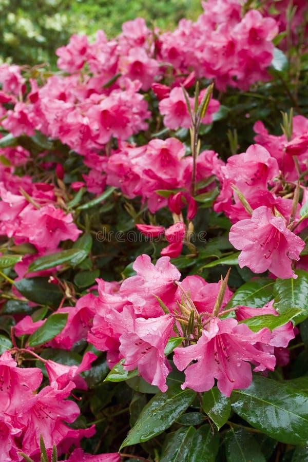 Rhododendronblume lizenzfreie stockfotos
