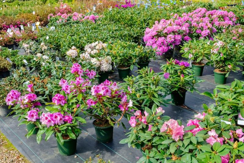 Rhododendronblumen in den Töpfen im Verkauf lizenzfreie stockbilder