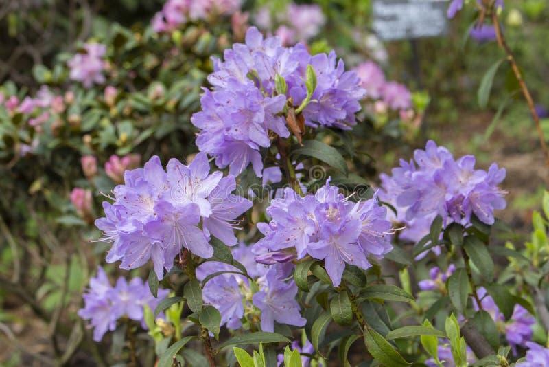 Rhododendronbuske Rhododendron för buske för kronblad för dekorativ kultiverad trädgårdblomma lila magentafärgad magentafärgad arkivbild