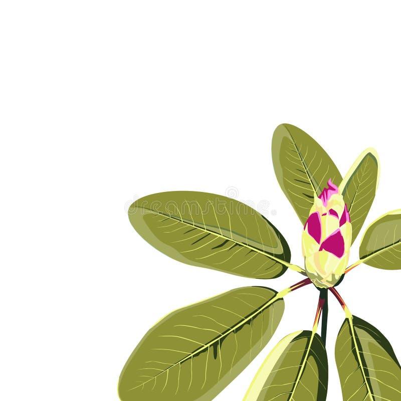 Rhododendronfilial med den isolerade knoppen Botanisk illustration f?r tappning stock illustrationer