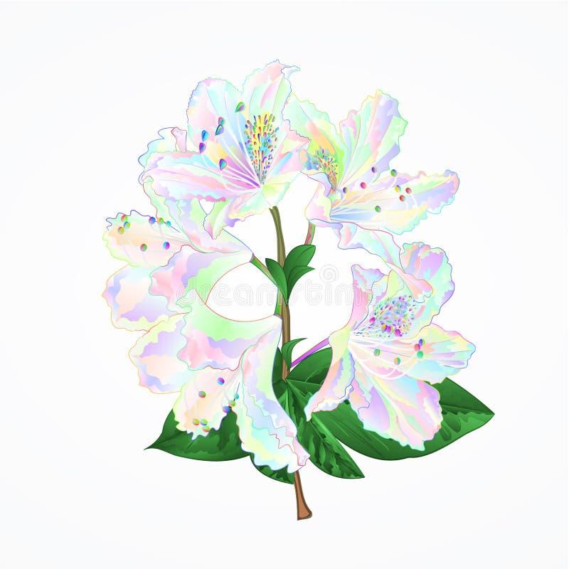 Rhododendronfilialen blommar den färgrika bergbusken på en redigerbar vit illustration för bakgrundstappningvektor stock illustrationer