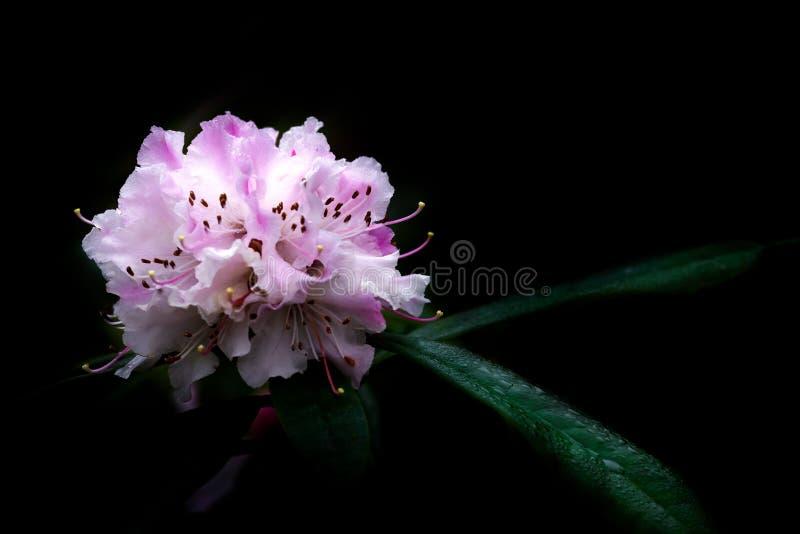Rhododendronjuljubel på svart bakgrund royaltyfri foto