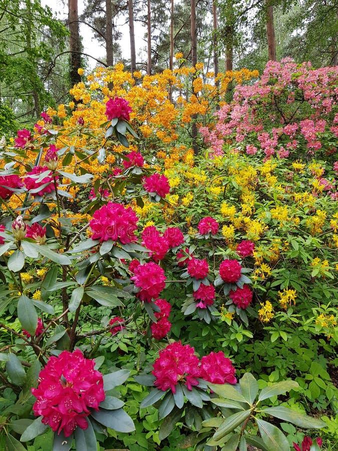 Rhododendronrododendron riga parkerar trädgården som arbeta i trädgården blommor royaltyfri bild