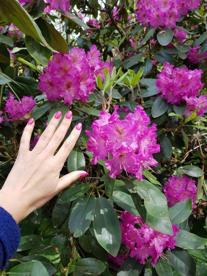 Rhododendronrododendron riga steg den rosa trädgården arkivbilder