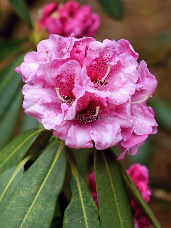 Rhododendronrosa färgblomma arkivfoton