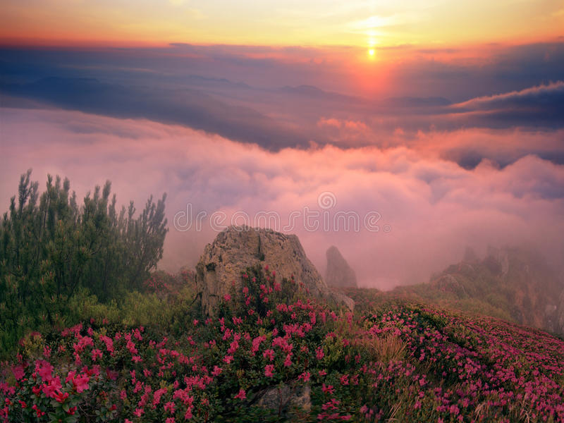 Rhododendrons, beautiful alpine flowers stock photography